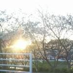 お花(桜)